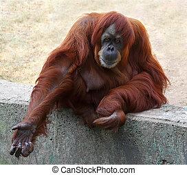 orang-outan, captivité, zoo