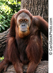 orang utan, singapour, -, zoo