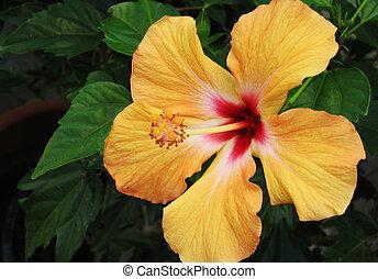 orange, hibiscus