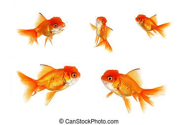 orange, multiple, poisson rouge