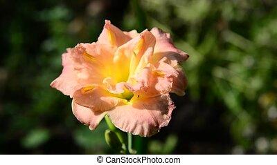 orange, parterre fleurs, daylily, fleur, terry