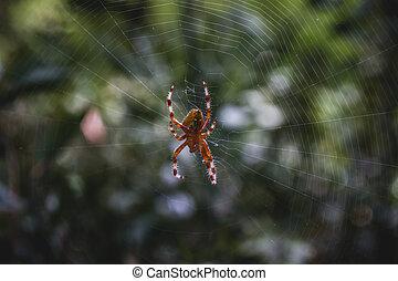 orange, toile, centre, araignés