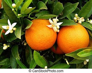 oranger, deux, oranges