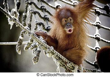 orangutan bébé