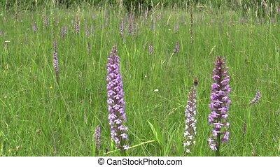orchidée, parfumé, prés, mis danger, conopsea, sauvage, gymnadenia, orchidée