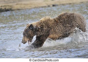 oreille, grisonnant, poisson attrapant, water.