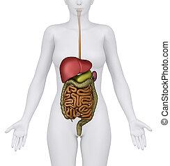organes abdominaux, femme
