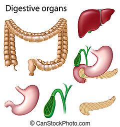 organes digestifs, isolé