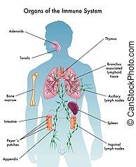 organes, système immunitaire