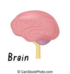 orgue, cerveau, sain, illustration, côté, anatomie, vecteur, humain, vue, interne