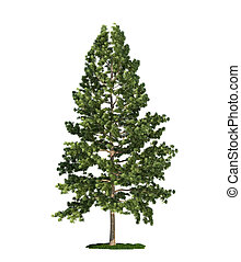 oriental, arbre, isolé, pin, strobus), (pinus, blanc, blanc