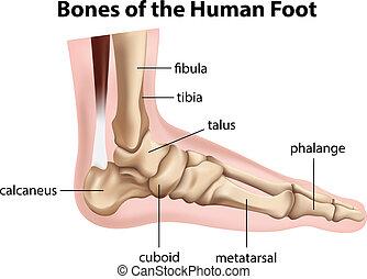 os, pied, humain