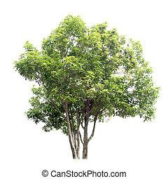 osmanthus, doux, arbre