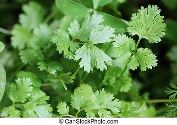 ou, feuilles, frais, organically, sativum), développé, coriander(coriandrum, cilantro