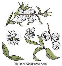 ou, plante, vert, ensemble, feuilles, parties, austromirtus, baie, midgen, exotique, dulcis, fruits, fleurs, fruit, petit, baie, whitish