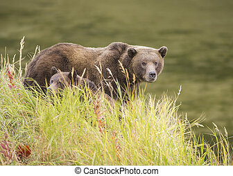 ours brun, truie, petit
