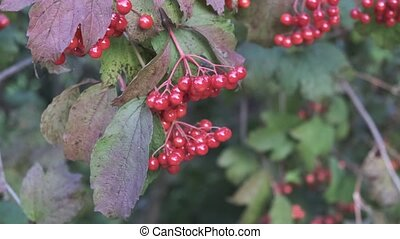 outdoor., viburnum, branch., baies rouges