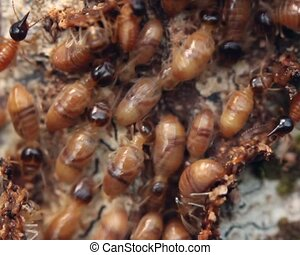 ouvriers, termites
