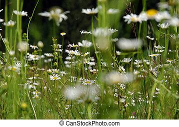 pâquerette, fleurs ressort, fleurir