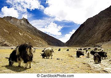 pâturage, chèvres