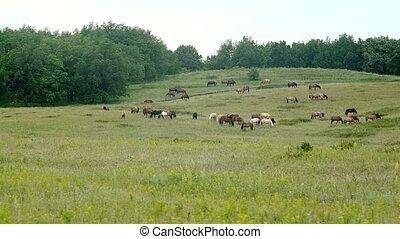 pâturage chevaux, pré, troupeau