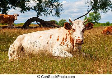 pâturage, cows., repos, noon., vaches, midi, petit somme