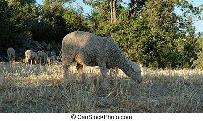 pâturage, mouton, pâturage
