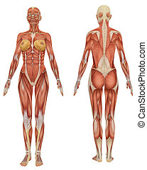 pédagogique, très, musculaire, anatomie, femme, devant, vue postérieure