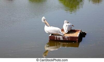 pélicans, blanc, parc, lac, flotter