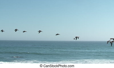 pélicans, formation volant