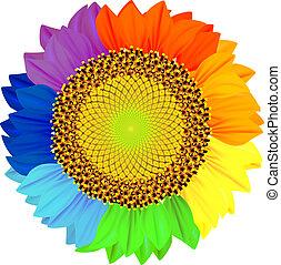 pétales, différent, rainbow., couleurs, tournesol