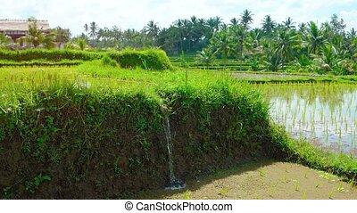 "paddy, sound"", eau, remplissage, ""irrigation, riz"