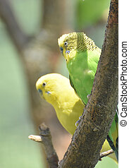 paire, arbre, parakeets, ensemble, séance