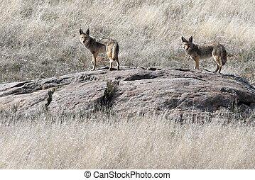 paire, coyotes, affleurer