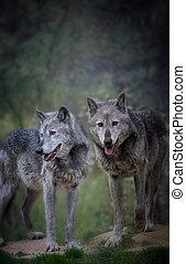 paire, forêt, sombre, loups