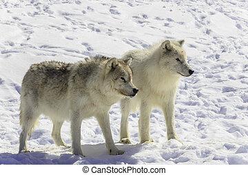 paire, loup arctique