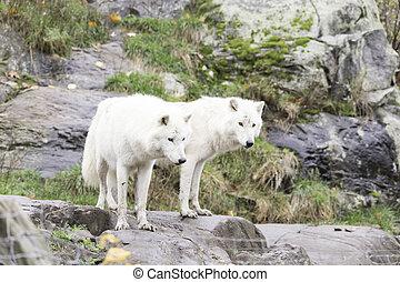 paire, loups arctiques