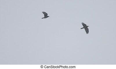 paire, noir, oiseaux, par, tempête neige, voler