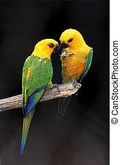 paire, perroquet