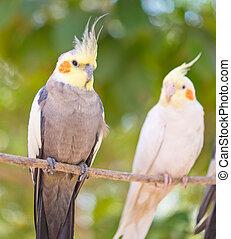 paire, perroquets