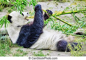 panda, activement, ours, mâcher, mignon, sprout., vert, bambou