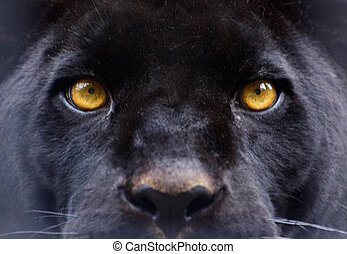 panthère noire, yeux