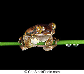 paon, grenouille