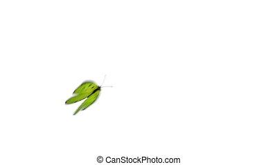 papillon, bleu, mouches, arrière-plan vert