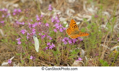 papillon, champ, wildflowers