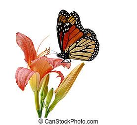 papillon, daylily