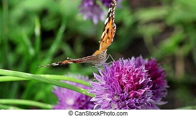 papillon, peint, ciboulette, fleur, dame