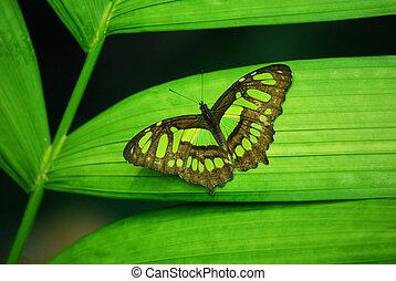 papillon, vert
