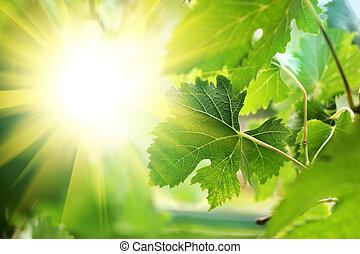 par, feuilles, soleil, vigne, briller