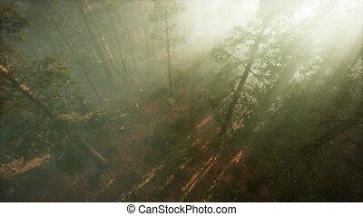 par, rupture, arbre, pin, bourdon, brouillard, séquoia, exposition